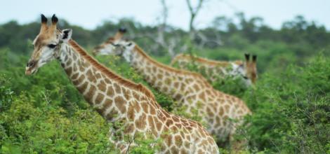 banner girafas